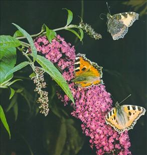 Rødkløveren, som har sin nektar i en lang spore, kan ikke bestøves af den  almindelige bi. Bien må derfor bide hul i sporen og stjæle nektaren.