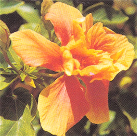 Hawaiiblomst - Hibiscus rosa-sinensis - pasning - haveabc.dk