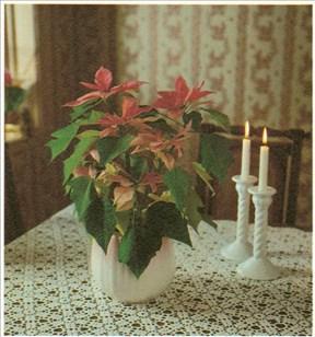 Julestjerne - Euphorbia pulcherrima - pasning